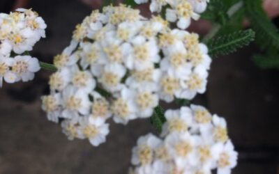Yarrow for strong hair and nails